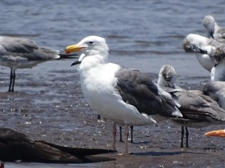 """A """"Chandeleur Gull"""" (Herring x Kelp Gull hybrid) is shown here 3 Apr 2017 toward the close of its third annual plumage cycle. It was present for at least 10 months at Barra de Santiago, Ahuachapán Dpt., El Salvador. Photo © Julio Acosta."""