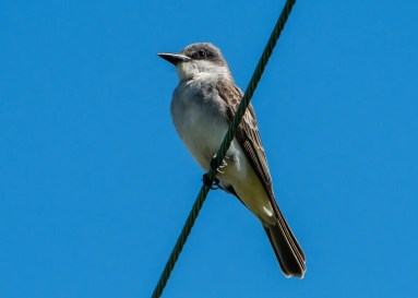 A great one-day wonder and only the 13th record for Texas was this Gray Kingbird at the migrant traps near Xeriscape Park, Quintana, Brazoria Co on 30 April 2017. Photo © Joe Fischer.