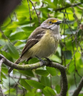 This singing White-eyed Vireo in residential Point Loma, San Diego Co on 26 May 2017 was one of four known along the southern California coast in late May and early June. Photo © Eric G. Kallen.