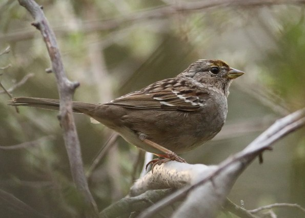 Frequently hard to find during its 21 Mar–4 Apr 2017 stay in the Mackinaw River Valley, Woodford Co , this Golden-crowned Sparrow provided Illinois's sixth accepted record. Photo © Matthew J. Winks.