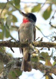 Although the Lower Rio Grande Valley of Texas is often a hotbed of rarities in the winter and spring, 2017 was rather quiet. The highlight in that area was likely this Rose-throated Becard that held over from the winter season at Estero Llano Grande State Park until at least 15 Mar (here 1 Mar). Photo © Bob Friedrichs.