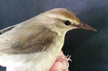 This Swainson's Warbler, mist-netted in the Bosawás National Park in northeastern Nicaragua, provided that country's first record on 22 Mar 2017. Photo © Heydi Herrera.