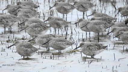 Part of an influx into south-western Ontario this Spring was an impressive flock of 52Western Willets at Hillman Marsh, Essex Co 15 Apr 2017.Photo © Jean Iron.