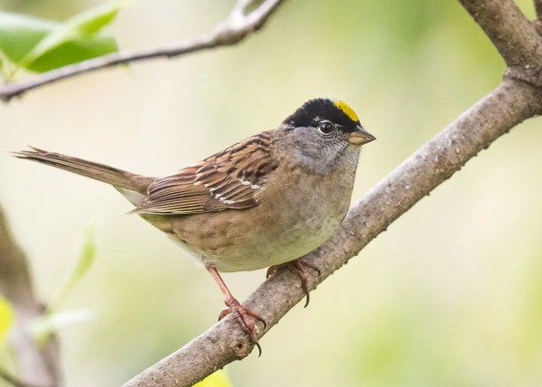 Golden-crowned Sparrow: Indiana's first-ever Golden-crowned Sparrow appeared at the feeders of a residence of two Indianapolis birders 16–18 Apr (here 17 Apr) 2017; it was seen by scores of birders. Photo © Ryan Sanderson.
