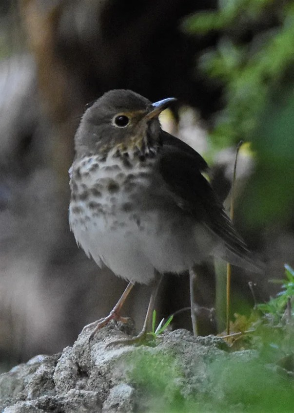 Migrant thrushes are now hard to come by during the spring in Bermuda. This Swainson's Thrush was photographed at Seymour's Pond on 30 Apr 2017. Photo © Andrew Dobson.