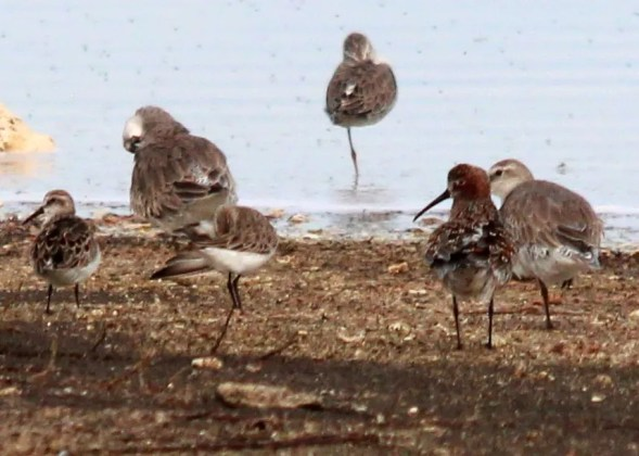 A Curlew Sandpiper was a surprise amongst a shorebird flock at Pointe des Chateaux, Morne Pavillon, Guadeloupe on 28 May 2017. Photo © Jérémy Delolme