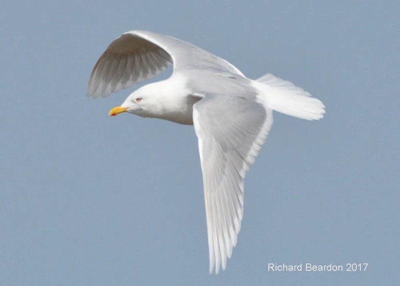 A flight shot showing a nominate glaucoides Iceland Gull taken at Ashbridge's Bay, Metropolitan Toronto. Taken 15 Apr 2017, this represents the first documented record of this subspecies for Ontario. Photo © Richard D. Beardon.