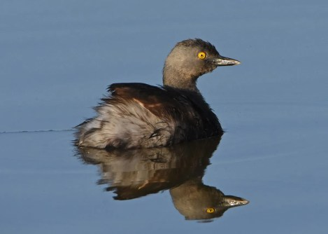 Least Grebes have expanded their range northward in the past decade or so. A group of up to three in far west Texas in Presidio 4 June–3 July 2017 (here 8 Jun) provided a first record for Presidio Co. Photo © Mark Lockwood.