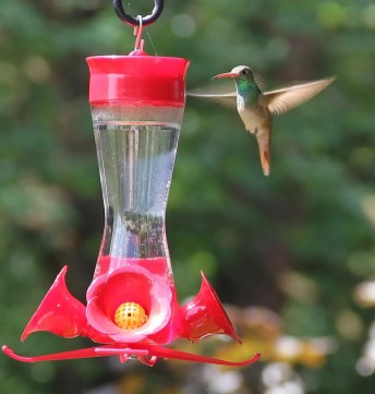 This Buff-bellied Hummingbird in Ozaukee Co., WI, was a shocking one-day-wonder on 17 Jun 2017. Photos by © Jeff Rusinow.