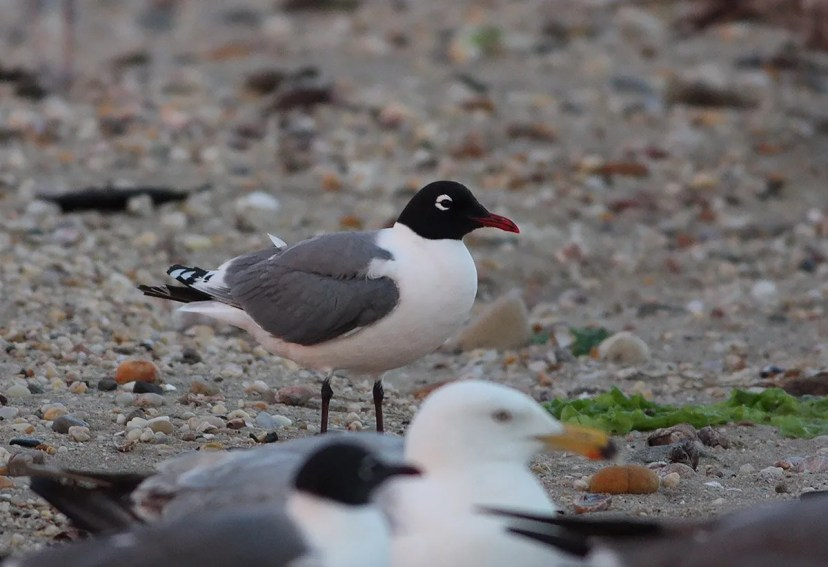 A few non-breeding Franklin's Gulls now wander annually in mid-summer to the Hudson-Delaware Region. Many are sub-adults with a little white in the head, but the hood of this visitor to Crab Meadow Beach, Northport, Suffolk, Long Island 18–23 (here 18) June 2017 was fully black. Photo by © Taylor Sturm.