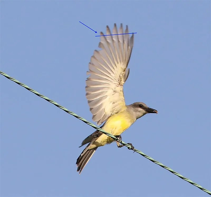 This diagnostic photograph ruled out Couch's Kingbird and established DE's and the region's second record of Tropical Kingbird. In Couch's Kingbird, the fifth primary is shorter than the tenth, while it is longer in Tropical Kingbird. Since the bird was silent, the usual vocal criterion was not available. Photographed at the Ashton Tract, Augustine W. A., New Castle, DE on 10 June 2017. Photo by © Kelley Nunn.