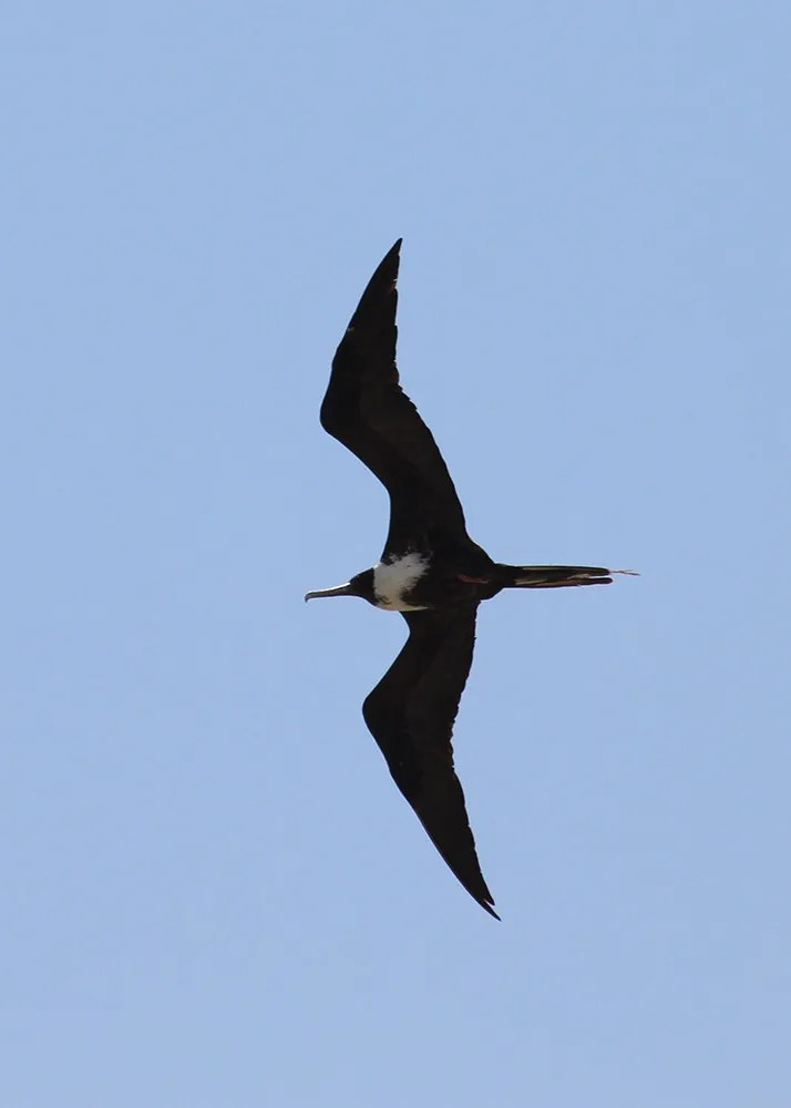 A Magnificent Frigatebird at Balmorhea Lake, Reeves Co 1–2 July 2017 was a bit of a head-scratcher. Hurricane Dora, which had appeared off the western coast of Mexico, is perhaps the most likely source of the bird, but there were no other coastal strays detected nearby. Photo © Greg Cook.