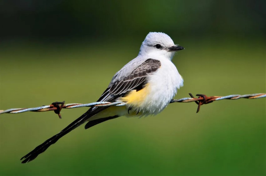 This is one of 5 Scissor-tailed Flycatchers reported this summer in the region; 4 were in Minnesota, and this one made its way to Alger Co., Michigan, 6 Jun 2017. Photo by © Mark Snable.