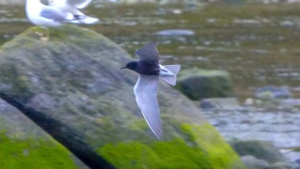 This Black Tern from the Chilkat River mouth near Haines 5 May 2018 represented only the fourth report for Southeast Alaska and the State's earliest of now 15 records by more than two weeks. Photo © Mathew Danihel.