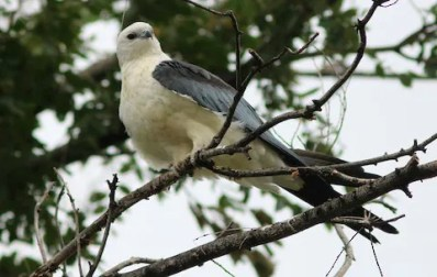 This Swallow-tailed Kite found in Lamar, Prowers, CO was seen from 10–24 August 2017, providing the fifth accepted record for the state. The previous record, also from Lamar, was observed in 1993. Photographed here on 23 August 2017. Photo © John Drummond.
