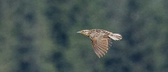 This Western Meadowlark, here on 17 May, that hung around Juneau's Mendenhall Wetlands 16–18 May 2018 was unique as Alaska's first May sighting and one of very few of this casual visitant known mainly from occasional late fall or winter reports. Photo © Mark W. Schwan.