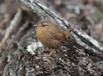 This Pacific Wren was one of two noted this season, observed out on the eastern plains at Brett Gray Ranch, Lincoln, CO 23–29 Sep 2017. Photographed here on 29 Sep 2017 (GW).