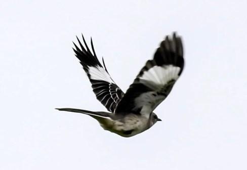 New for Belize, this Northern Mockingbird was found at Cattle Landing, Toledo Dist. 27 Oct 2017. Photo © Jorge Eduardo Ruano.