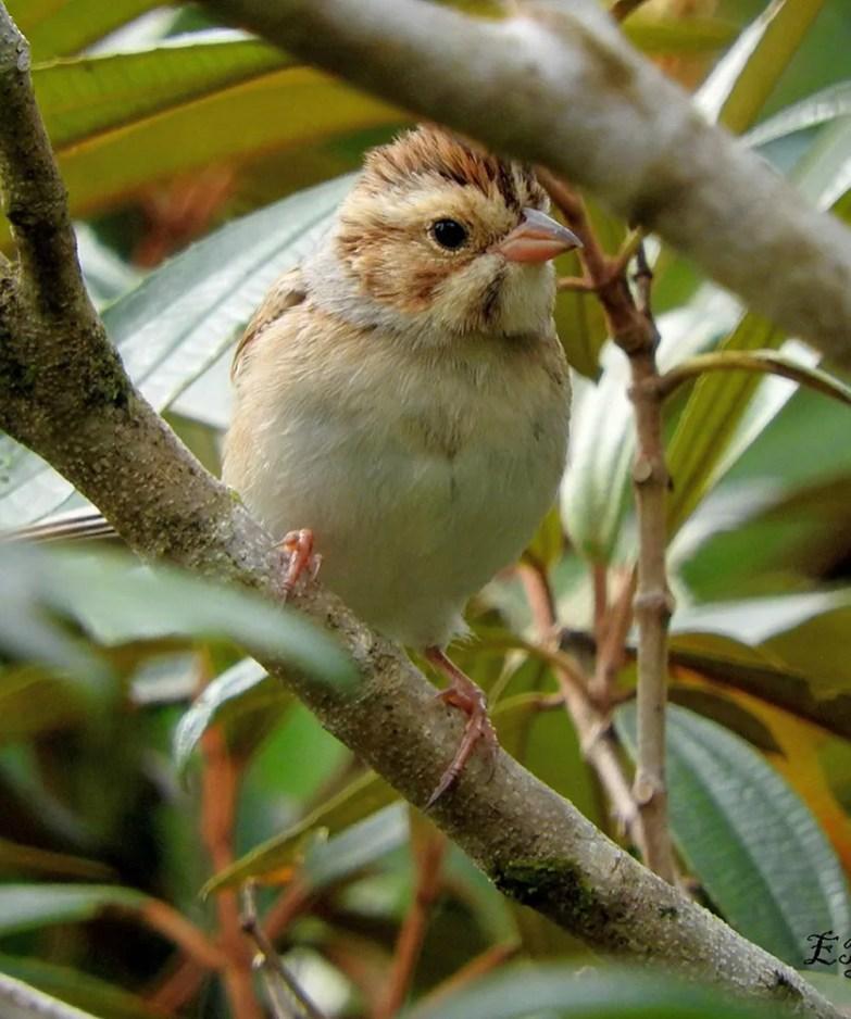 Rare in Central America, this Clay-colored Sparrow was a nice find on 23 Oct 2017 at Grano de Oro on the slopes of Turrialba Volcano in Cartago Prov., Costa Rica. Photo ©Elkin Elizondo.