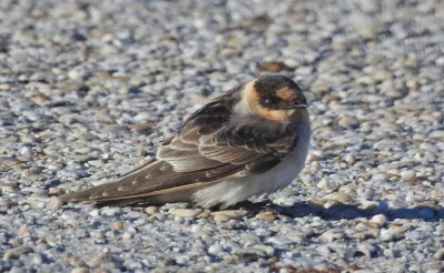 Cave Swallow is only regularly found on the Alabama coast in spring, so one near Mobile 29 October was a surprise and only the sixth in fall for the state. Photo © Ron J. Kittinger/Rick L. Kittinger.
