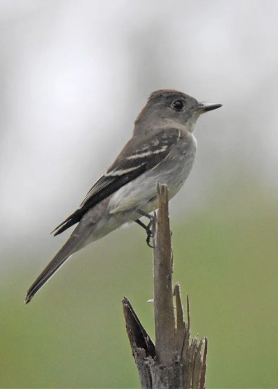 At least 30 Eastern Wood-Pewees present 14 Oct–6 Nov 2017 was a record count in Bermuda. This one was photographed at Ferry Point Park on 31 Oct. Photo © Andrew Dobson.