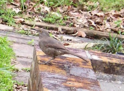 Louisiana's third Curve-billed Thrasher wasn't on the sandy, acacia- and cactus-studded coastal ridges where one might look for it, but in a cozy suburban neighborhood in Baton Rouge, East Baton Rouge Parish, here photographed on 26 Feb 2018. Photo © Ronlyn A. Domingue