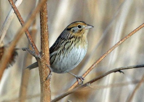This LeConte's Sparrow, rare in the state, was found and photographed at Van's Grove, Bent Co. 13 Dec 2017; it was observed for the 2 days. Photo by © Dave Leatherman.