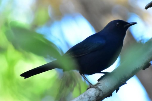 After an absence of more than 160 years, Black Catbird was rediscovered in Honduras when two individuals were found on the Honduran Bay Island of Roatán on 28 Jan 2018. Despite searching, the birds could not be relocated and were likely dispersers from Mexico or Belize. Photo ©Joel Amaya.