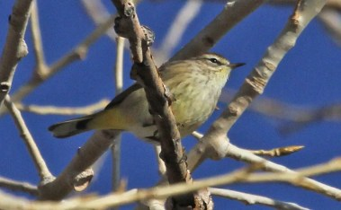 This Palm Warbler was observed for a few days near Laporte, Larimer Co. 16–19 Dec 2017 (Here on 19 Dec). Photo by © Dave Leatherman.