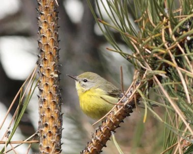 This Prairie Warbler was one of 2 reported this season. Found at a local apartment complex hotspot, the bird was observed from 16–20 Dec 2017 in Jefferson Co. (Here on 16 Dec 2017. Photo by © Aaron Shipe.