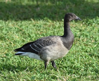 Brant Geese are very rarely seen in Bermuda. Two were present during the winter period including this one photographed 9 Dec 2017 in Shelly Bay Park. Photo © Andrew Dobson.