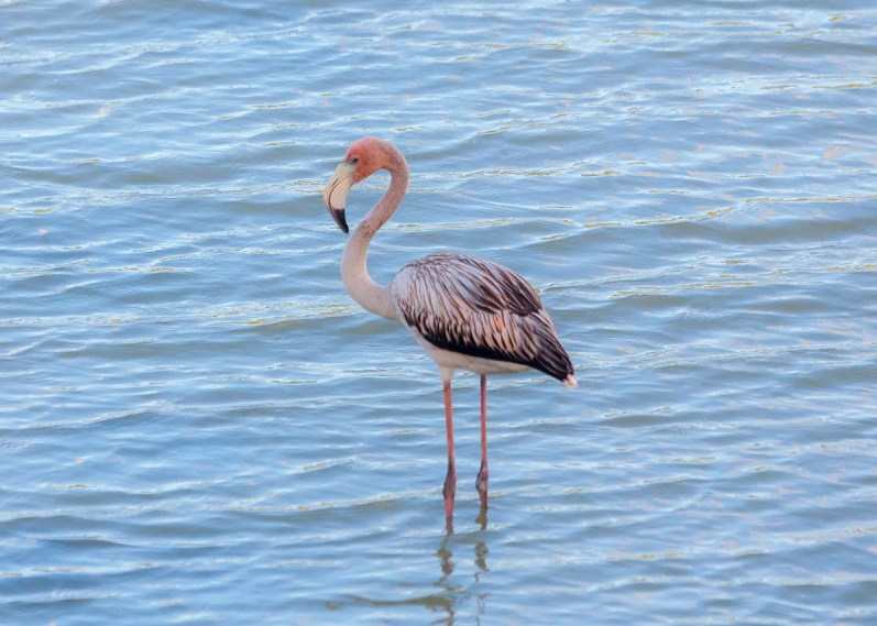 An immature American Flamingo was present at Chancery Lane Swamp, Christ Church, Barbados from 23 Feb–25 Apr, providing only the second record for the country. Photographed here on 24 Feb 2018. Photo © Julian Moore.