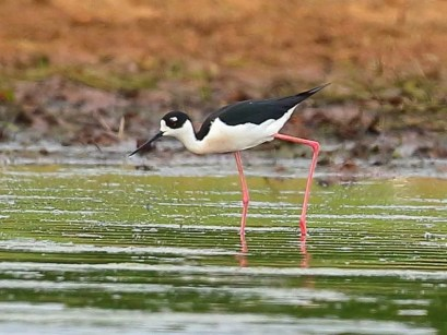 Black-necked Stilts are erratic in the Tennessee Valley and have bred there. This stilt was at Leighton, Colbert Co, AL 8–31 May 2018 (here 31 May). Photo © Bala Chennupati.