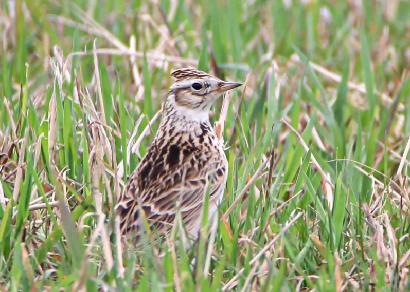 This Eurasian Skylark at Saint-Damien 6–7 May 2018 (here 6 May) provided not only a provincial first for Québec, but also a first record in the East. Photo © Nathalie Rondeau