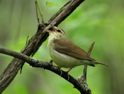 A Swainson's Warbler pushing the limits of its species' range was discovered by Ruthie Stearns 15 May 2018 at Wilderness Park, Washington Co, Nebraska, the state's first. Photo by John Carlini.