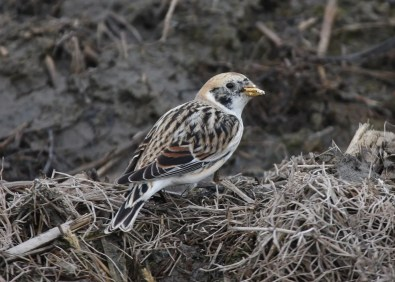 This presumed Lapland Longspur x Snow Bunting hybrid stopped at Baie-du-Febvre, Québec on 27 Mar 2018, providing only the second documented record in the world of this rare combination. Photo © Yves Dugré