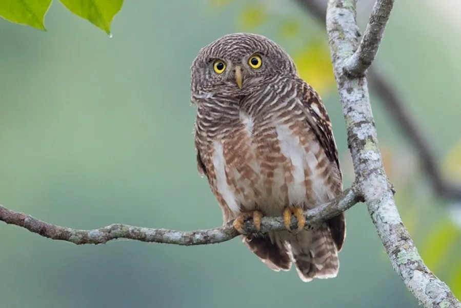 Asian Barred Owlet (Laurie Ross)