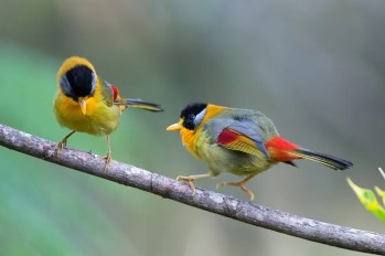 Silver-eared Mesias are easy to see at Fraser's Hill on the Malay Peninsula extension (Iain Campbell)