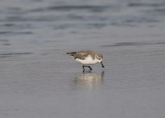 Spoon-billed Sandpiper (Keith Barnes)
