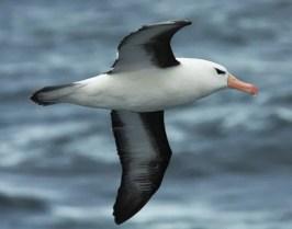 Black-browned Albatross