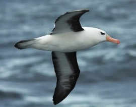 Black-browned Albatross