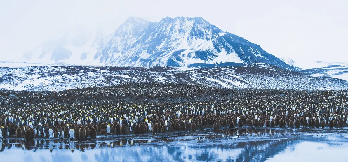 South Georgia King Penguin Colony