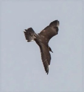 Truly unexpected, this second-summer Long-tailed Jaeger allowed close approach at the Salt Plains N.W.R., Alfalfa Co, Oklahoma 24 July 2018. Photos © Joe Grzybowski and © Glen Hensley.