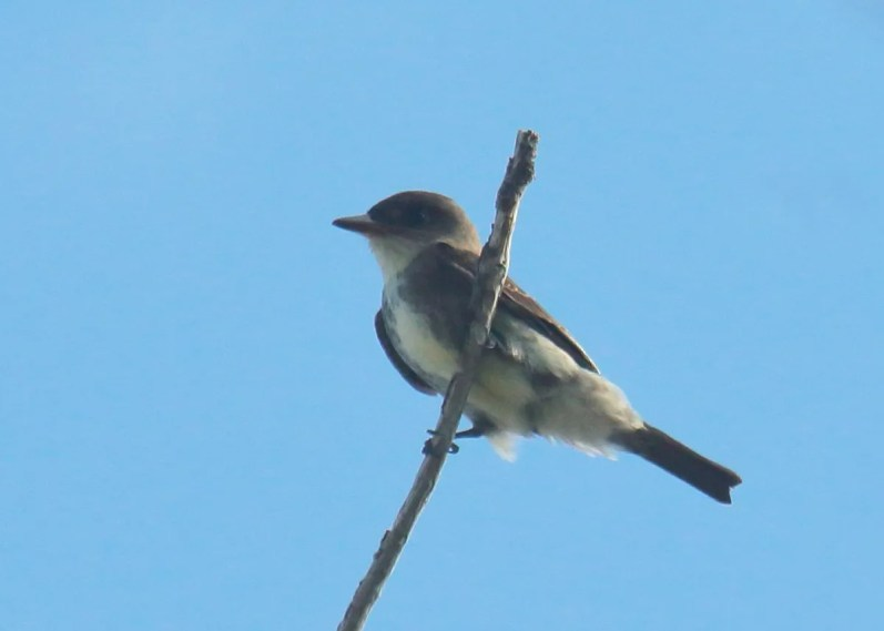 Extremely rare in Bermuda, this Olive-sided Flycatcher was at Ferry Point Park 13–19 Sep 2018. Photographed here 15 Sep 2018. Photo © Neal Morris.