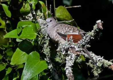 Slowly increasing in the southern part of the region, especially along the coast, this Inca Dove was one of two at a frequent site on the Fort Morgan Peninsula, Baldwin County. Photo © Janice Neitzel.