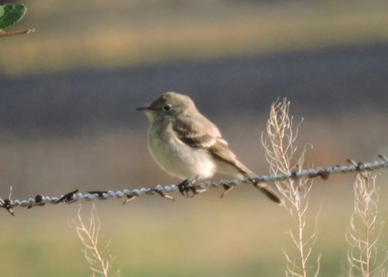 This Gray Flycatcher, NE's sixth for fall, was at Oliver Reservoir, Kimball 2 Sep 2018. Photo © Michael Willison.