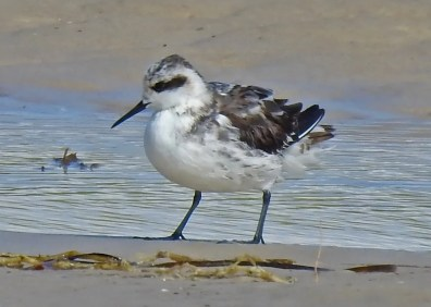 Just after passage of Tropical Storm Gordon, Red-necked Phalaropes were discovered at separate sites on the Alabama coast; this individual was at Fort Morgan, Baldwin County 6 Sep 2018. Photo © Eric Haskell.