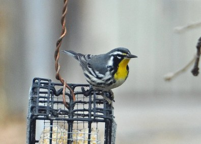 This Yellow-throated Warbler, NE's westernmost on record for fall and about six weeks late, was in North Platte, Lincoln 1 Oct 2018. Photo © Jim Petersen.