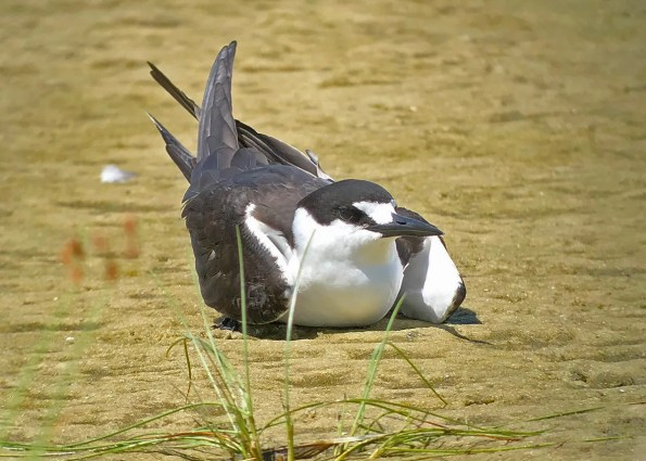 As Tropical Storm Gordon was churning in the Gulf, this Sooty Tern appeared 2 Sep 2018 at Dauphin Island, Mobile County, Alabama. Photo © Katie Barnes.
