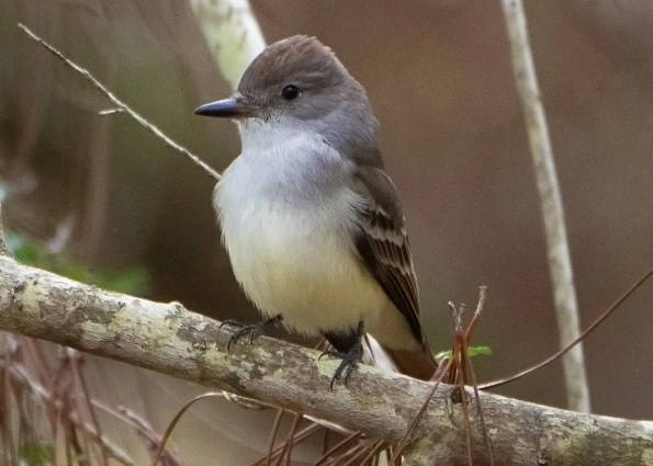 A regular low-level fall visitor along the Gulf, this Ash-throated Flycatcher was at Fort Morgan, Baldwin County, Alabama 2 Nov 2018. Photo © Franklin Chalk.